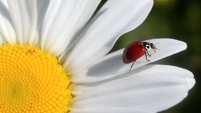 A lady beetle walks out to the the end of a daisy petal in search of aphids.