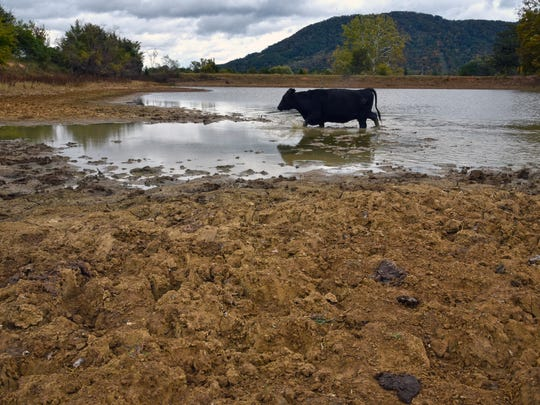 The drought in East Tennessee has left Dave Cantrell's pond 8 feet lower than normal. Cantrell had 40 head of registered black Angus cattle grazing on the drought-stricken pasture of his Black Oak farm in Corryton, Tenn., on Oct. 21, 2016.