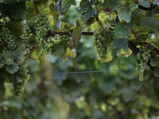 Riesling grapes are among the vinifera varieties grown in the Finger Lakes.