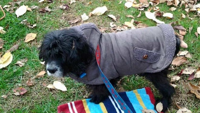 Shadow, a deaf and partially blind Cocker Spaniel, went missing from his Wilmington owners' yard Sunday.