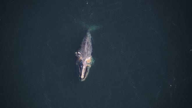 The North Atlantic right whale known as Dragon, a 19-year-old female, is seen off Nantucket in February with a buoy stuck in her jaw.