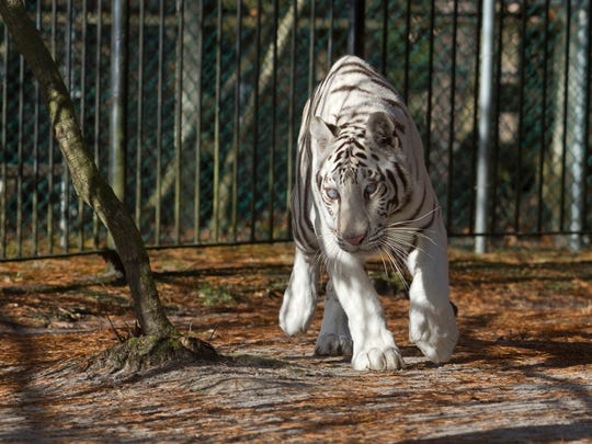 Kya, a blind white female tiger, is one of the animals found at Popcorn Park Zoo in Lacey.