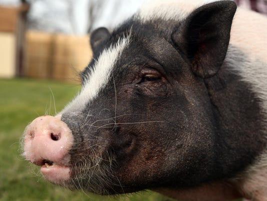 -041914-WIL 0422 Delaware Pets Pot-bellied pigs-wb 15777.JPG_20140419.jpg