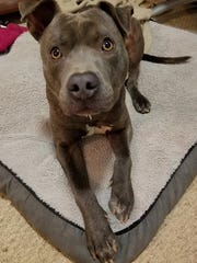 Carl is a 1-year-old, neutered, male pit bull terrier