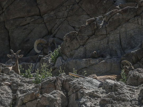 A group Bighorn Sheep at The Living Desert on Thursday, May 25, 2017, in Palm Desert.