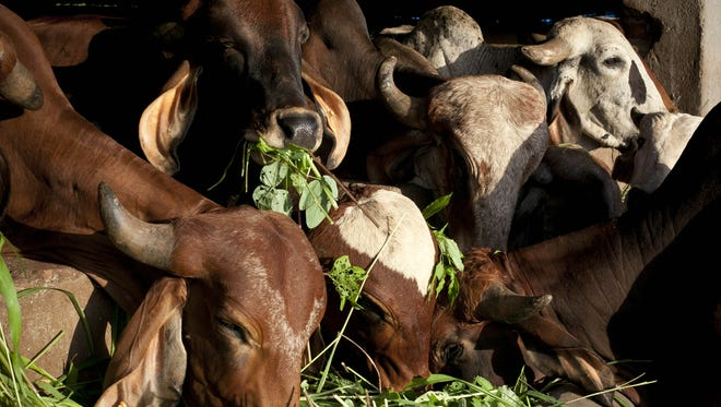 Cows are seen at the Shree Gopala Goshala cow shelter Sept. 7, 2015 in Bhiwandi, India.
