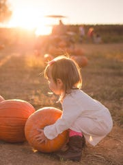 Children of all ages enjoy the timeless seasonal sensation of picking pumpkins straight from the patch.