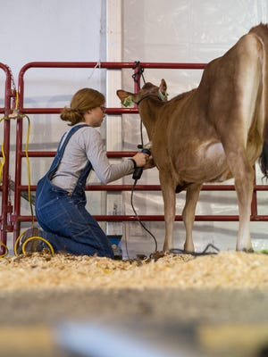 The 24 contestants, ranging in age from 13 to 21, were allotted one hour to prepare an animal to show-ready quality during the World Dairy ExpoYouth Fitting Contest Sunday, October 1 in the Estrumate Sale Pavilion..