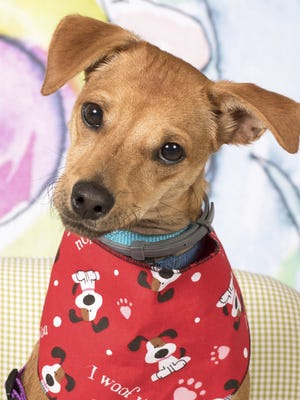 Beetlejuice is available for adoption with Friends for Life. The adoption center is located at 952 W. Melody Avenue in Gilbert. For more information, call Friends for Life at 480-497-8296, email FFLdogs@azfriends.org, or visit azfriends.org.