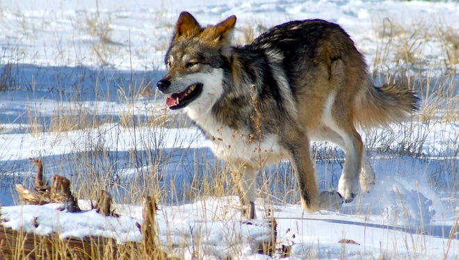 """The documentary """"Stories of Wolves: The Lobo Returns"""" at 6 p.m. on Sunday in the Light Hall Theater on the WNMU campus, followed by a Q&A with film director Elke Duerr."""