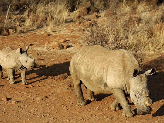 A black dehorned rhinoceros followed by a calf walks