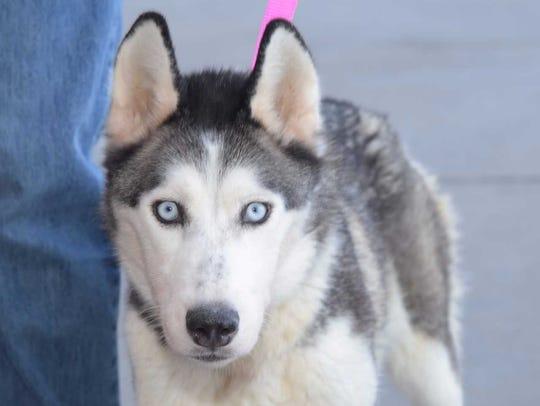 Alaska - Female husky, adult. Intake date:6/12/2017