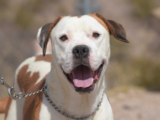 Ali - Female (spayed) boxer, about 4 years old. Intake date:1/2/2018