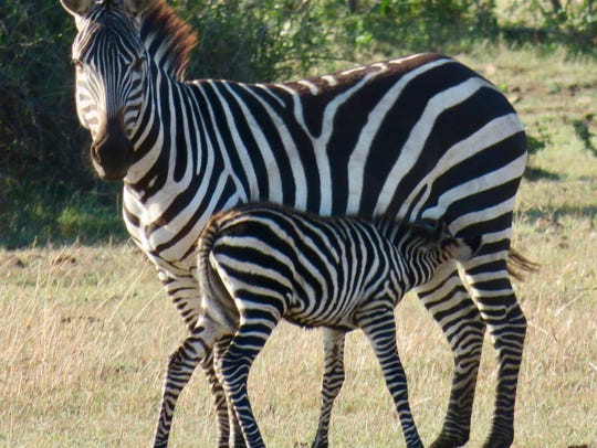 A mother zebra nurses her foal.