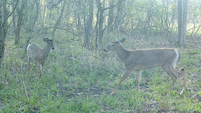 Two bucks in May, showing antler growth, act out dominance ritual at a community zip-tied scrape.