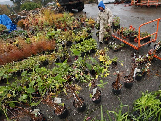 Jen Hansen rearranges plants at the current Olmsted's Nursery location along on Highway 305 in Poulsbo. After Christmas tree sales wrap up in December, the business will begin the move to a new Viking Avenue location.