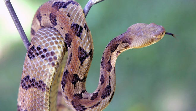 A timber rattlesnake is cautiously displayed near downtown Houston.