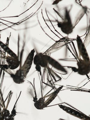 In this Wednesday, Jan. 27, 2016 photo, Aedes aegypti mosquitoes sit in a petri dish at the Fiocruz institute in Recife, Pernambuco state, Brazil. The mosquito is a vector for the proliferation of the Zika virus spreading throughout Latin America. New figures from Brazil's Health Ministry show that the Zika virus outbreak has not caused as many confirmed cases of a rare brain defect as first feared. (AP Photo/Felipe Dana)