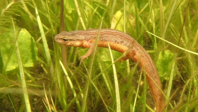 Captive raised striped newt just released into a prime historical breeding pond within the Apalachicola National Forest.
