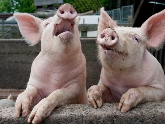 Pigs being funny