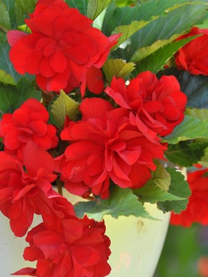 Some begonia flowers at Jerry and Linda Standiford's yard in Rib Mountain.
