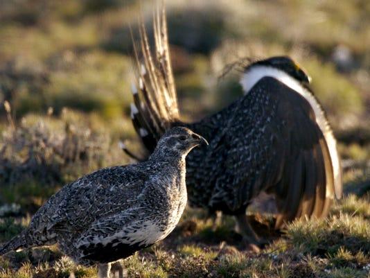 SAL Sage grouse protection
