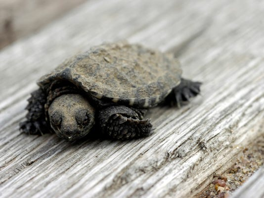 -turtle.JPG_20080923.jpg