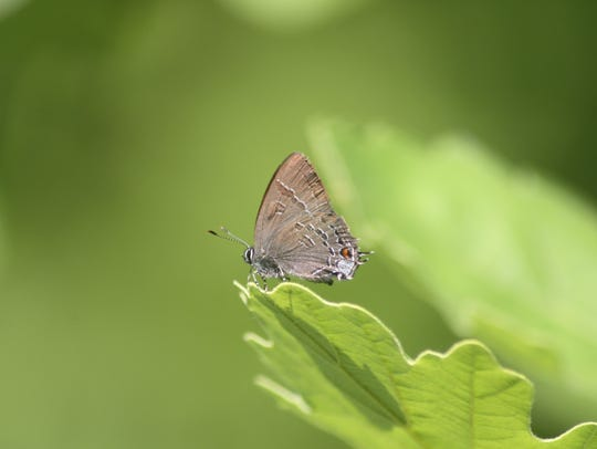 Banded Hairstreak butterfly