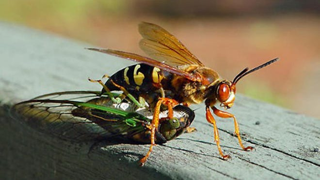 Good bug: Cicada killer wasps are narrow-waist wasps,  black and have yellow markings on their sides and abdomen. They use the cicadas as food to raise their young.  They are not a threat to humans, but can sting if bothered. They attack cicadas, then stun them with a sting and carry them to their nest.