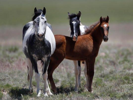 Trump Bureau Of Land Management Budget Seeks To Cull U.S. Wild Horses