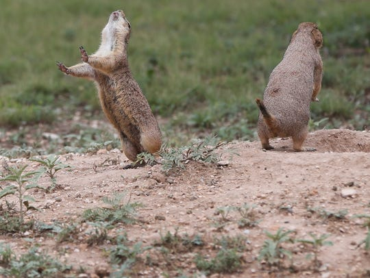 Prairie dogs vocalize to each other near the opening