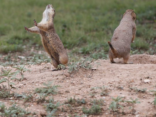 Prairie dogs vocalize to each other near the opening of their burrow at Mary E Lee Road near the San Angelo Nature Center.