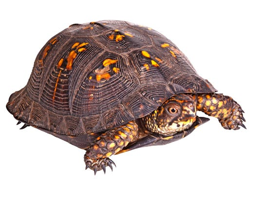 Eastern box turtles show almost no signs of diminishing physical or reproductive capability with age.