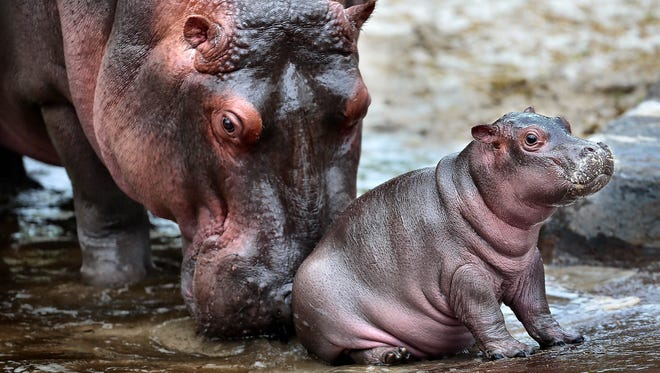 One of the Memphis Zoo's new mothers, Binti, a Nile hippopotamus, plays with her baby girl, Winnie, in the lagoon at the Zambezi River Hippo Camp. Binti gave birth to the 76-pound hippo on March 23.