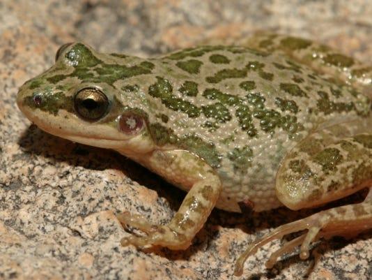 636359800463334409-Spotted-Chorus-Frog-1.JPG