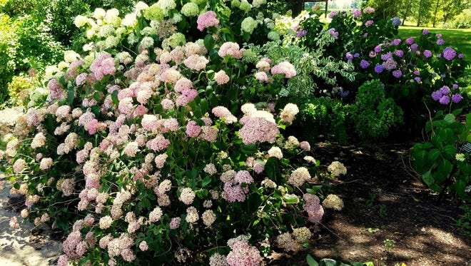 Our native smooth hydrangea usually sports white flowers, but breeding has produced plants of soft pinks.
