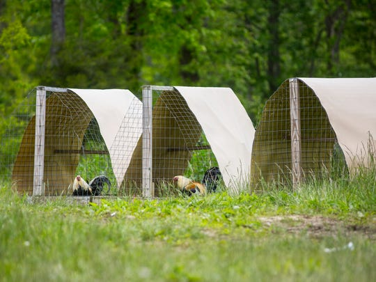 May 17, 2016: Chickens are seen Tuesday near the spot where Frankie Rhoden and his fiancŽ Hannah Gilley's mobile hime sat. Their mobile home, where the couple was shot and killed, was seized by the Pike County Sheriff and the Ohio Bureau of Criminal Investigations. The Ohio Attorney General's office has said that evidence of cockfighting was found on the property.