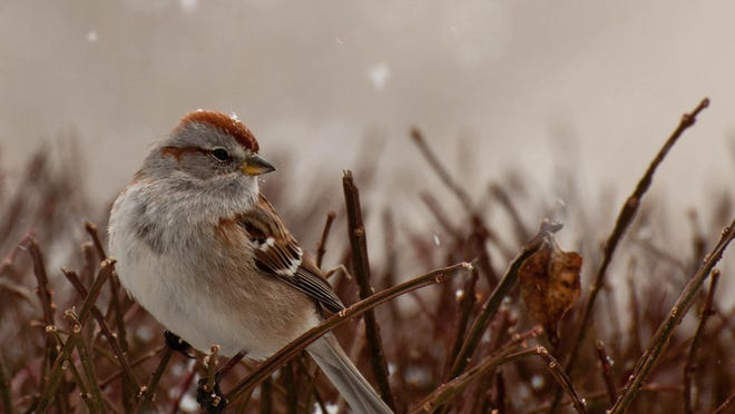 The American tree sparrow's habitat includes fields and forest edges, but they also enjoy eating at backyard feeders.