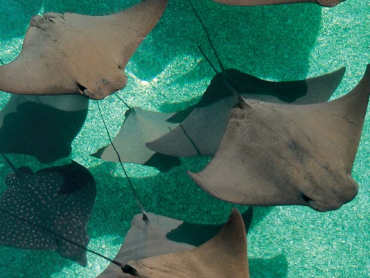 636246662611430546-Marine-Habitat-Stingray-Lagoon-outside-Beach-Towers-credit-Atlantis-Paradise-Island.jpg