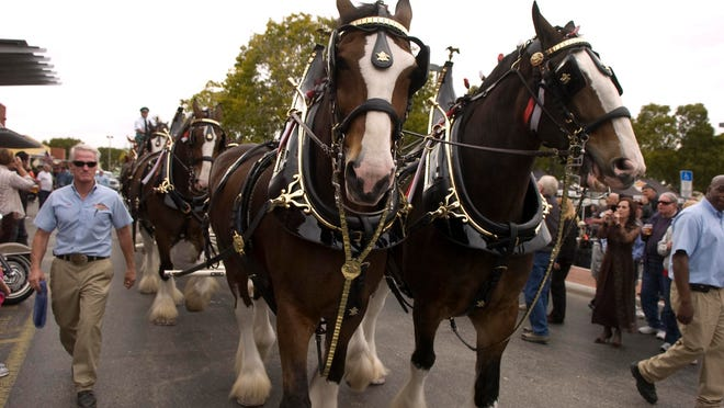 The Budweiser Clydesdales return to the Edison Festival of Light Grand Parade on Saturday.