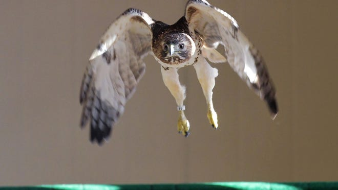 GRAFTON - An adult red-tailed hawk curls its wings as it takes flight from its perch inside the large flight cage on the campus of Tufts Wildlife Clinic at Cummings Veterinary Medical Center at Tufts University on March 4, 2020.