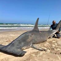 Giant hammerhead shark caught