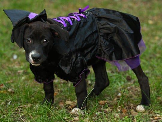Livi, a PawSwap dog, dresses up as a witch.