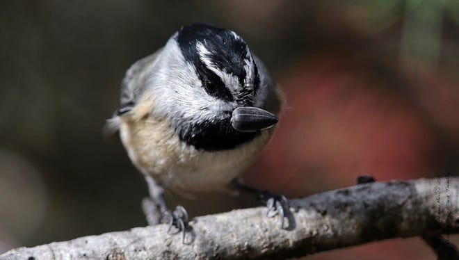 A mountain chickadee spears a seed as photographer Dave Tremblay records his prowess.