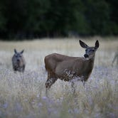 Wildlife officials have confirmed Colorado's first case of exotic chewing lice in a mule deer east of Denver.