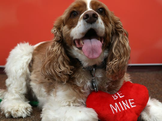 Cody the Cockalier Spaniel poses for Valentine's Day at Crown Veterinary Specialists in Lebanon. February 6, 2016, Lebanon, NJ.