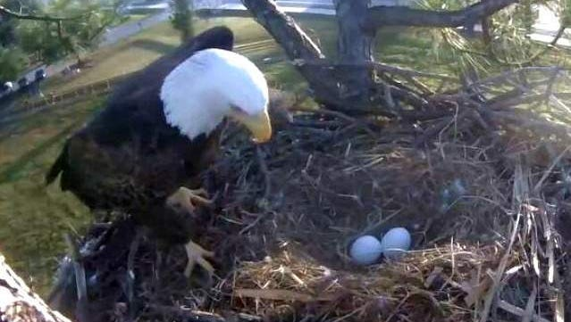 A file shot from the Southwest Florida Eagle Cam shows two eggs in the nest.