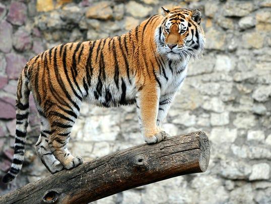 Axx_tiger_V2_22