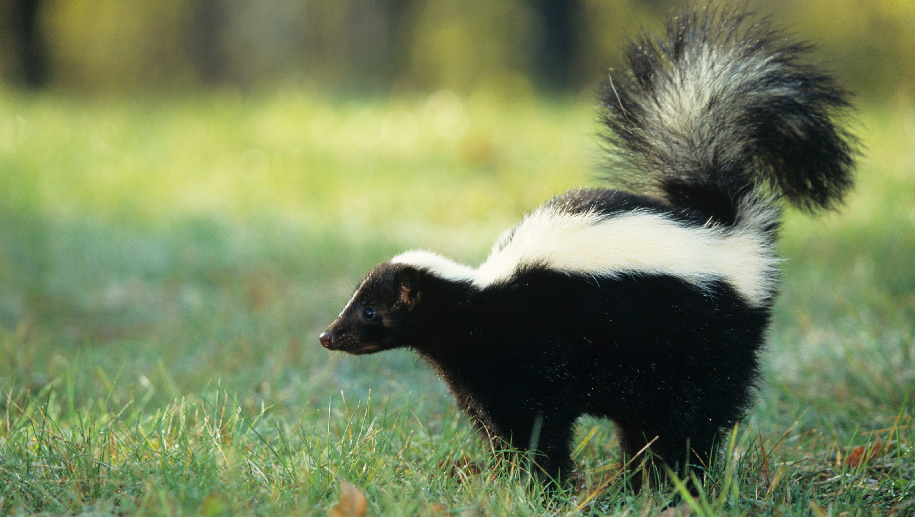 Skunk In Backyard skunks more horrifying than halloween
