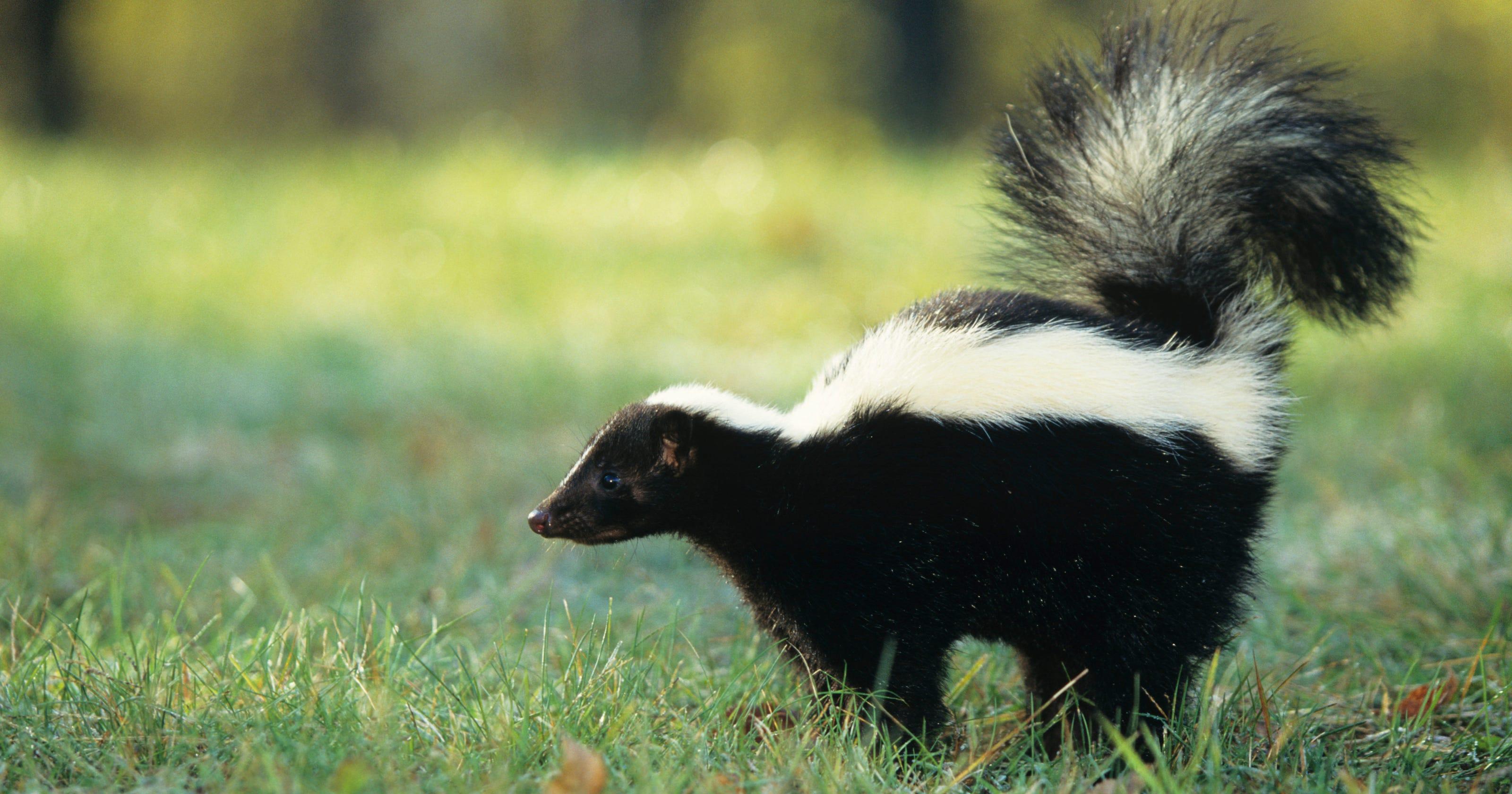 Skunk In Backyard skunks more horrifying than halloween